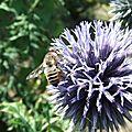 Megachile maritima