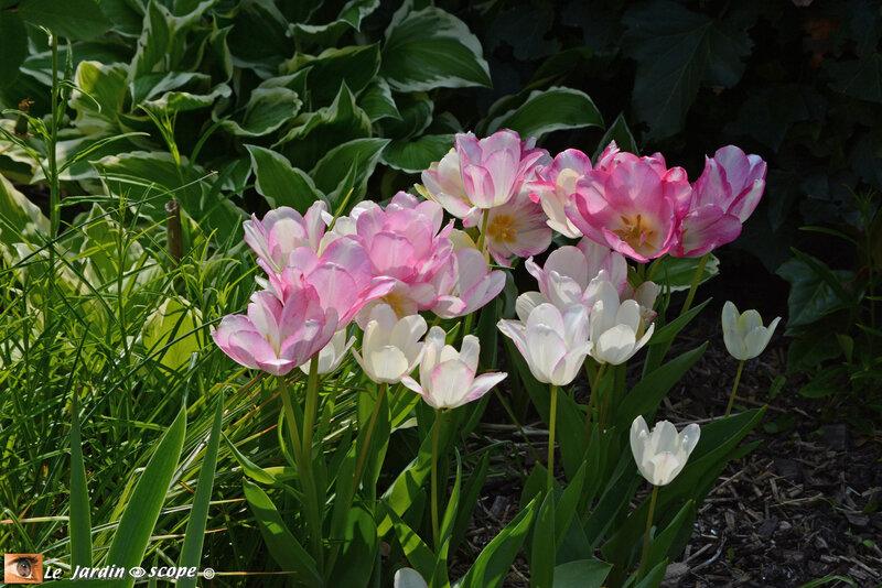 Tulipes Dream Club