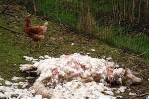 mouton_mort_et_poule_2