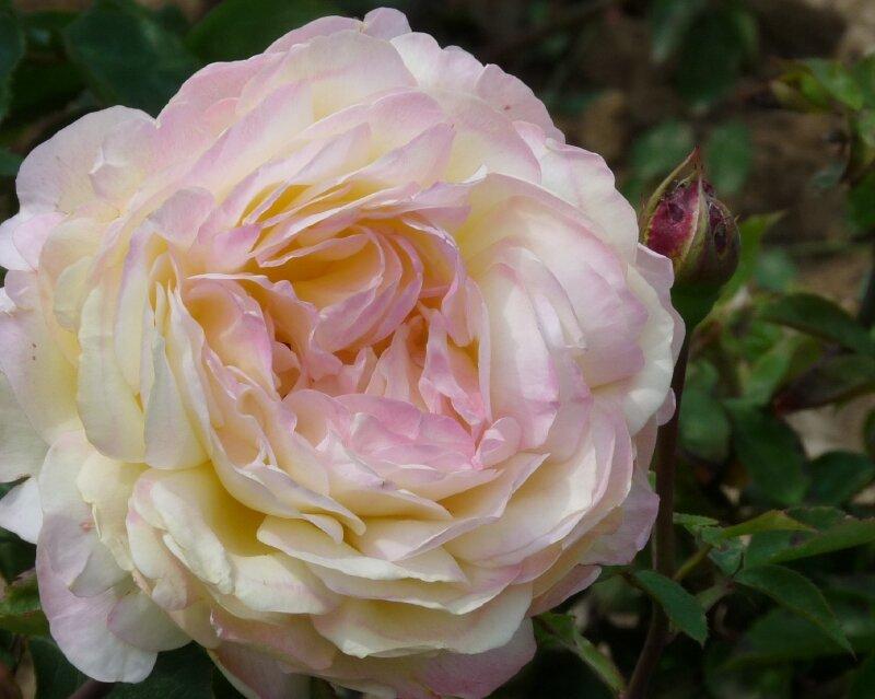 Roseraie Haÿ- les- Roses (7)