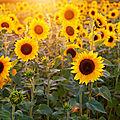 Le tournesol, fleur des villes et fleur des champs