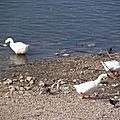 Oies et pigeons et canards