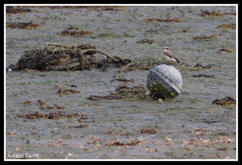 001331 Larmor-Baden - Le Golfe du Morbihan - L'Ile d'Arz