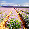 Plateau de Valensole, lavande