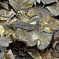 Lyophyllum decastes (1)