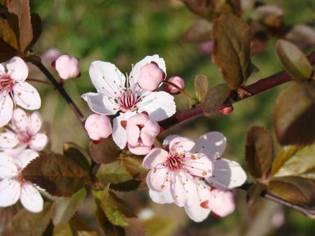 Paques12 Prunus branche grosplan