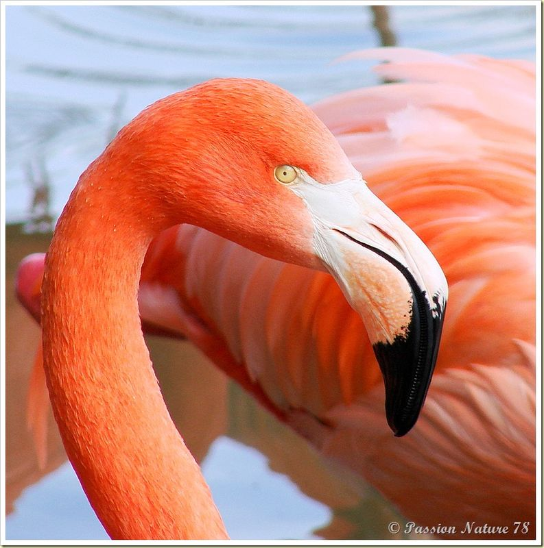 Les flamants roses (27)