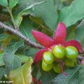 Fruit d' Ochna serrulata • Famille des Ochnaceae