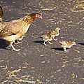 La maman poule de fred kipik, 38e inscrite