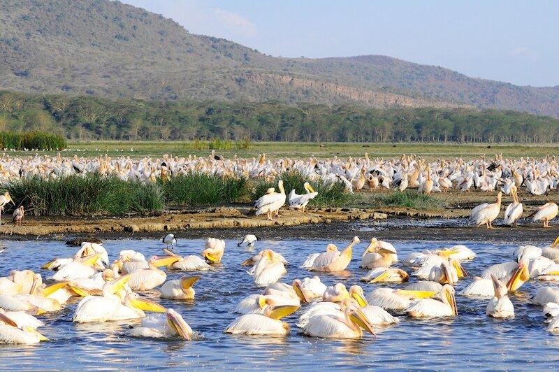 Pélicans blancs, parc de Nakuru, Kenya (3)