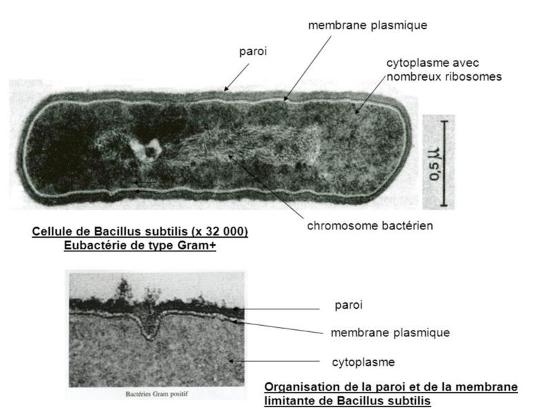 photo de bactérie