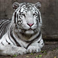 white-tiger-1edit