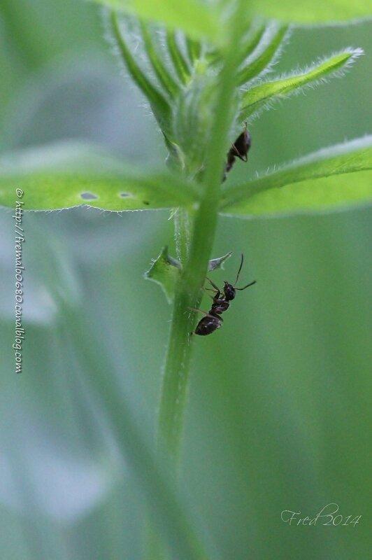 Camponotus sp ??