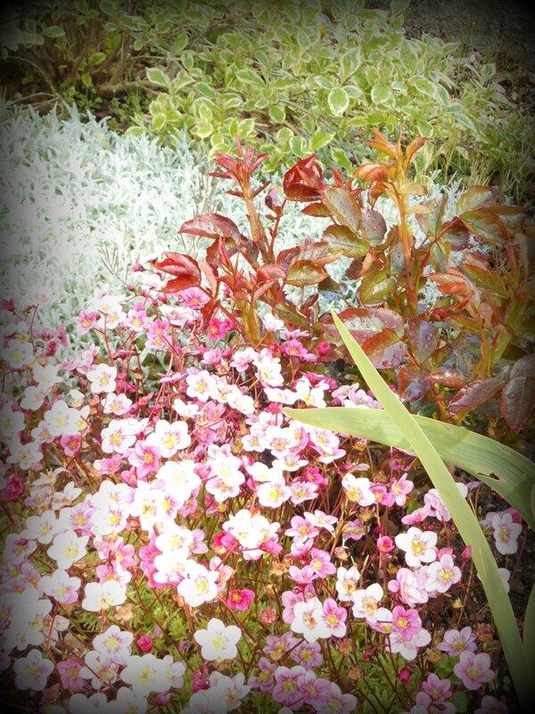 rosier, céraiste et saxifrage