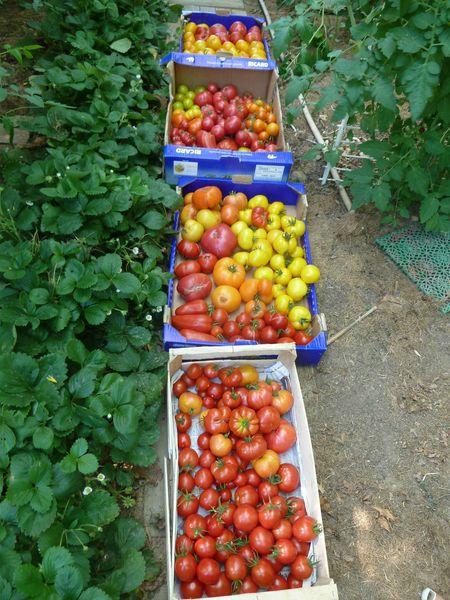 2-récolte tomates (2)