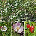 Eglantier (rosacées)