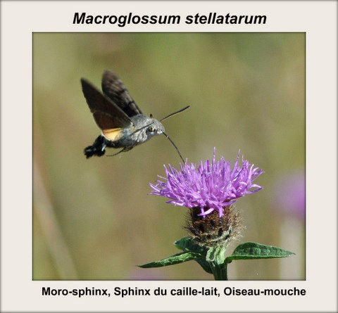 Macroglossum stellatarum(Moro-sphinx, Sphinx du caille-lait, Ois