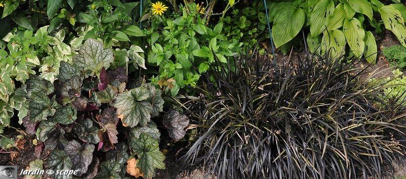 Ophiopogon noir en association avec une heuchère