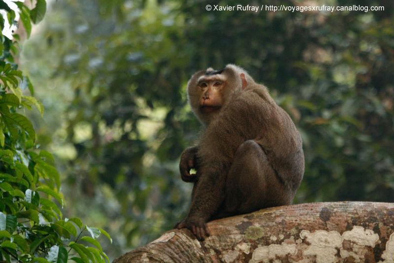 Macaque à queue de cochon_mâle3_Khao Yai_XRu