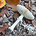 Amanita muscaria (1)