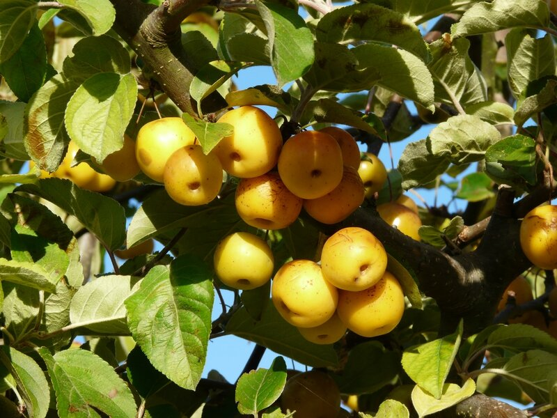 Malus Golden hornet (2)