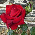 rose rouge mouillée2
