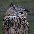 Aves - grand duc d'europe - budo budo