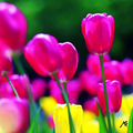 04B. Tulipes