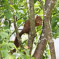 Cacahuète dans les arbres ...
