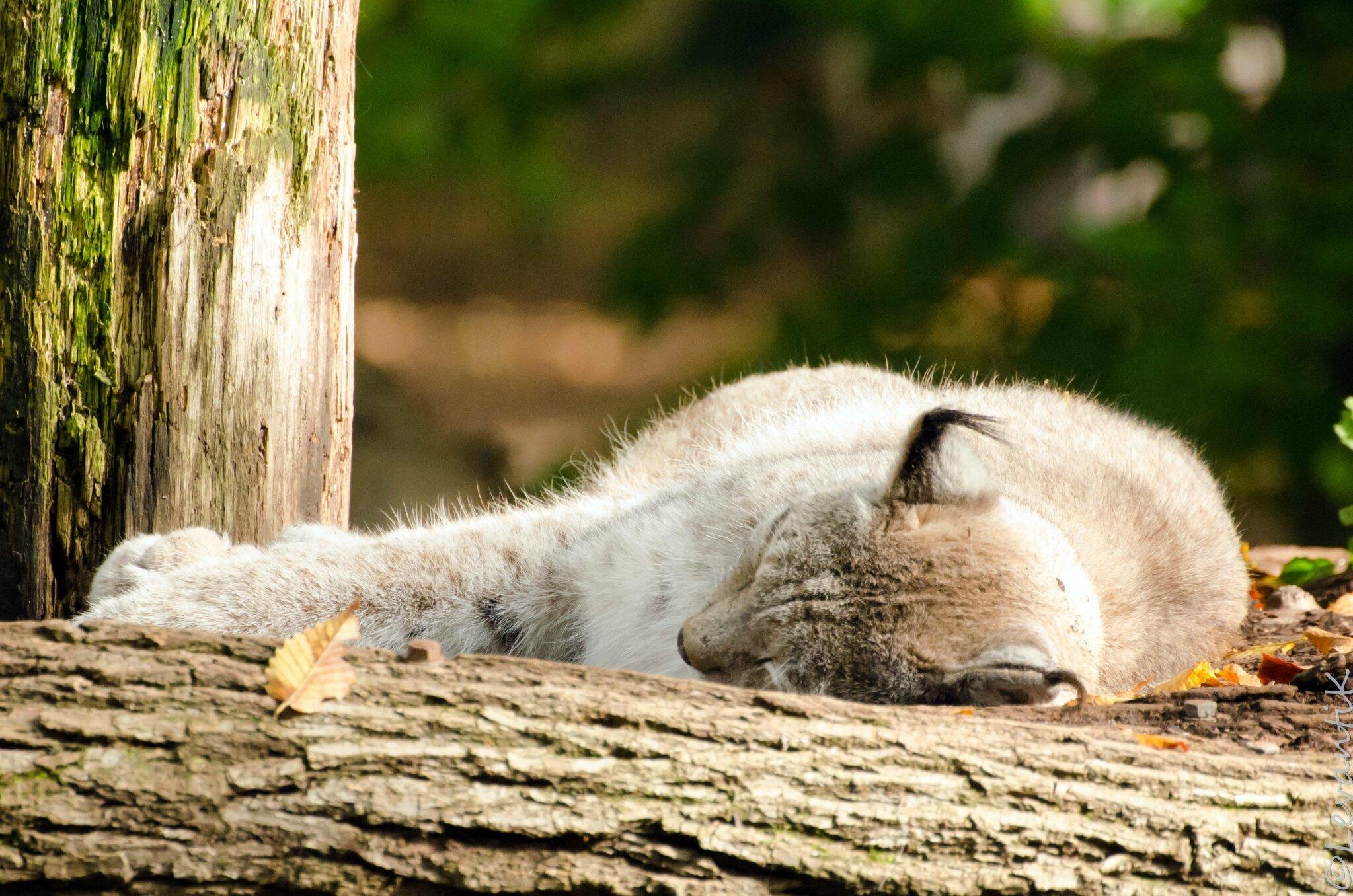 Lynx boréal - Lynx lynx (3)