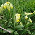 2008 05 01 Des fleurs de coucou
