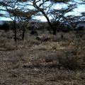 amboseli gazelle dd