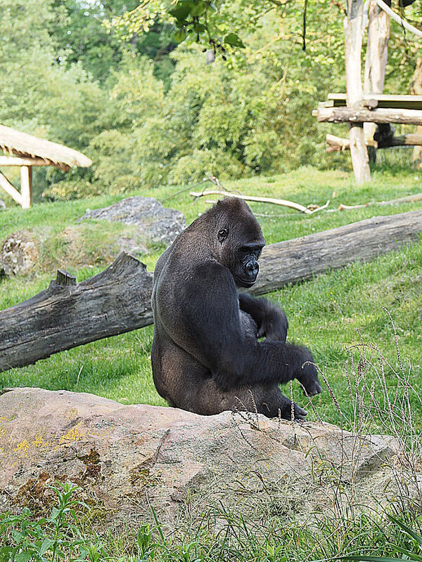 zoo-beauval-animaux-gorilles-7