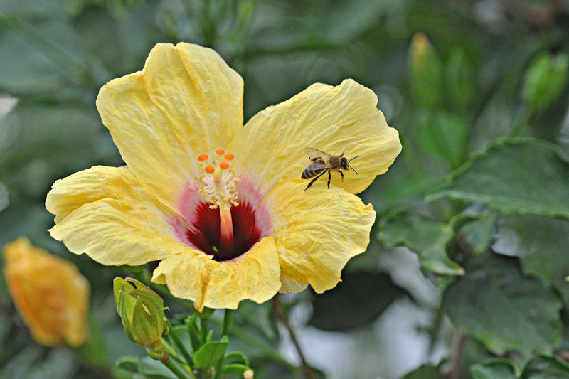 hibiscus--abeille