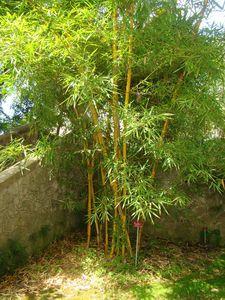 5-Touffe de Bambusa vulgaris cv