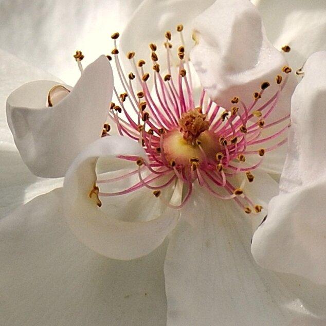 Rose Coeur 1
