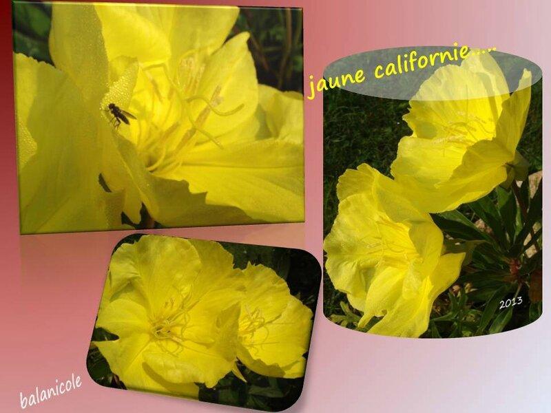 balanicole_2012_13-14_39_jaune californie