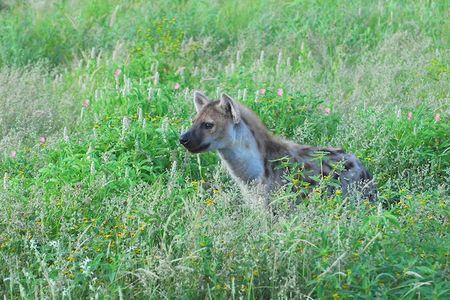 Hyène tachetée, parc d'Etosha, Namibie