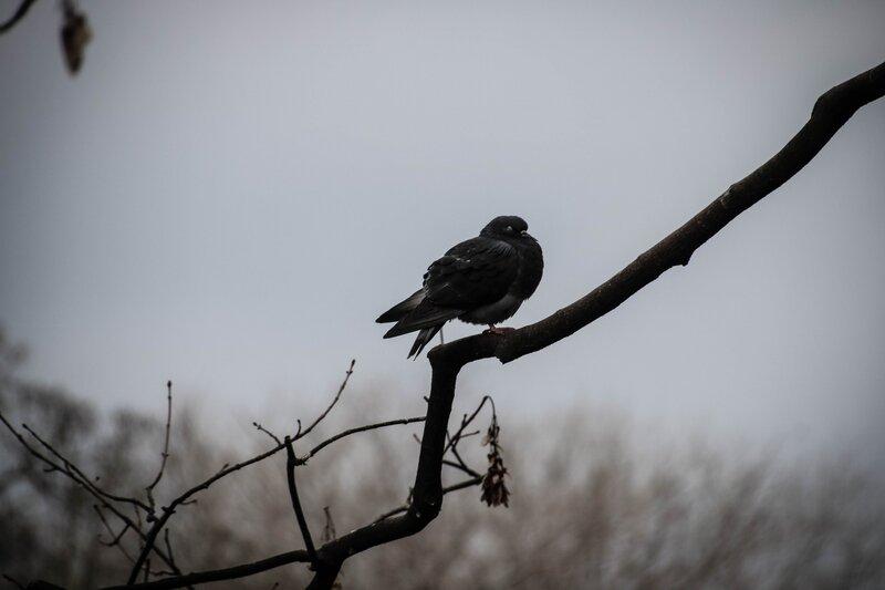 Pigeon endormi sur une branche