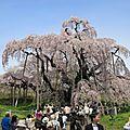 Takizakura, un cerisier du japon âgé de plus de 1000 ans, est en fleur !