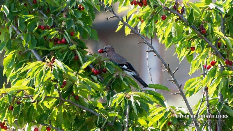 Geai des chênes (Garrulus glandarius - Eurasian Jay)