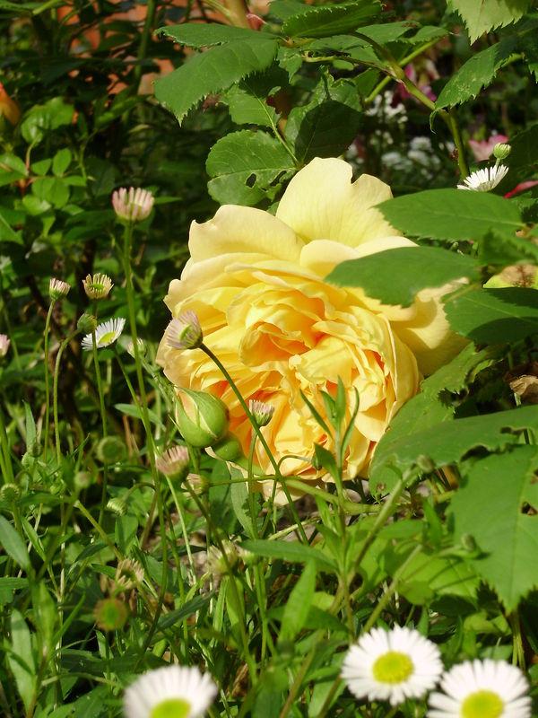 une rose au jardin