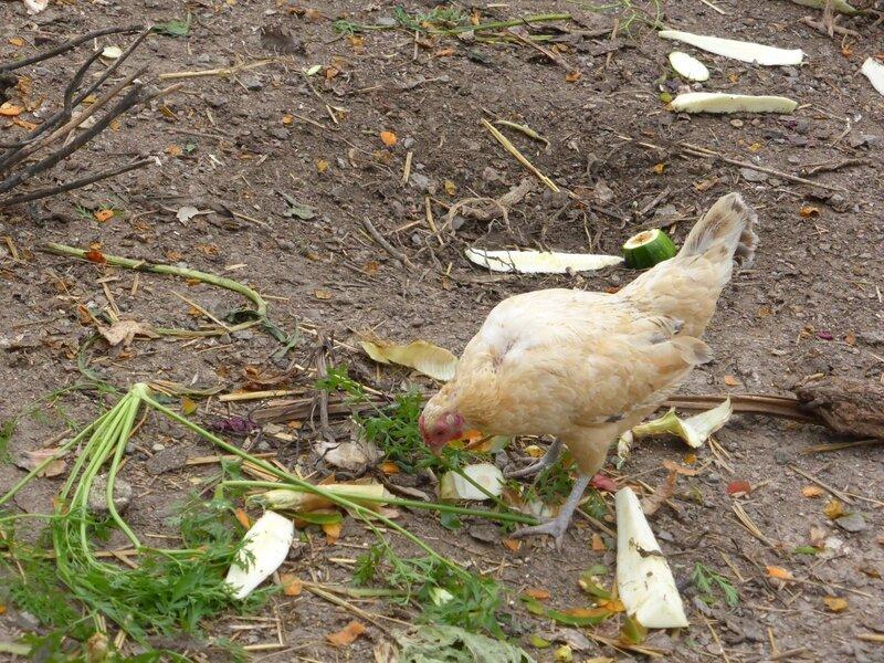 30-poules et feuilles de carottes (25)