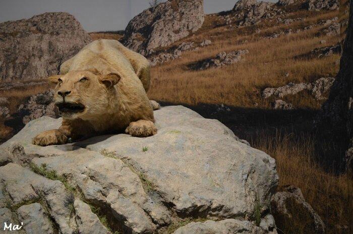 170426_lion_des_cavernes