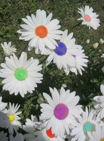MARGUERITES_Feu_d_artifice_copie