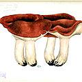 133 Lactarius volemus lactifluus volemus_0009