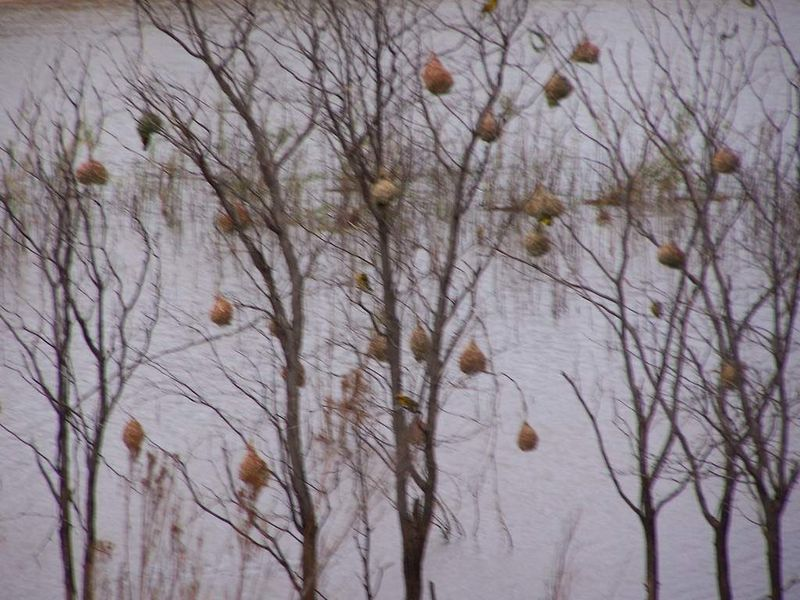 Nid des oiseaux Tisserands