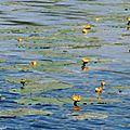 1-Mes roses et Balade au Lac 030517