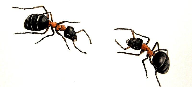 fourmis croisées