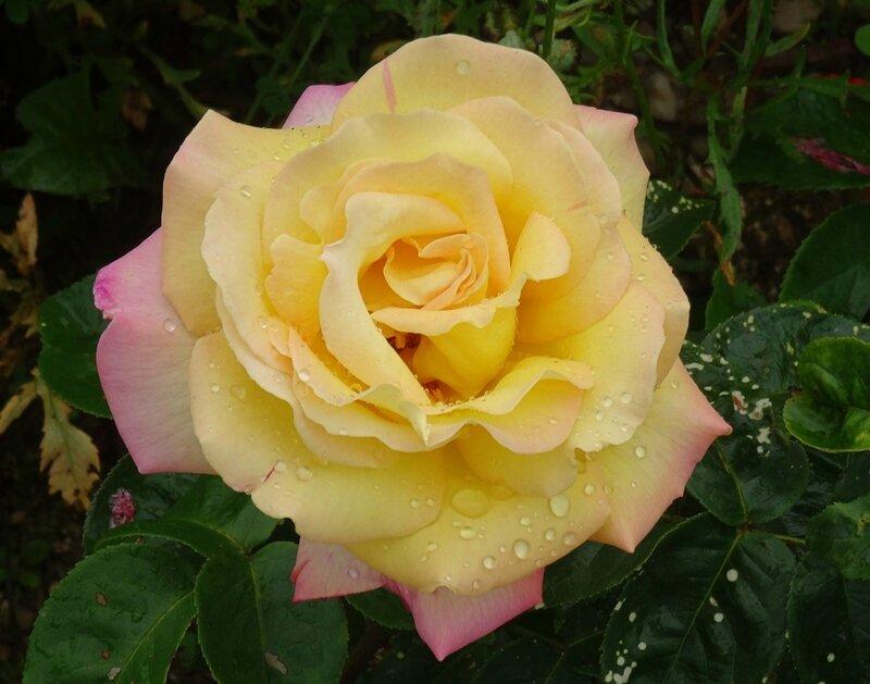 rosier peace